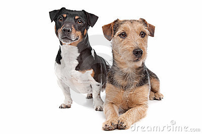 Jack Russel Terrier dog and a mixed breed dog