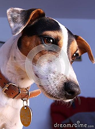 Jack Russel terrier portrait