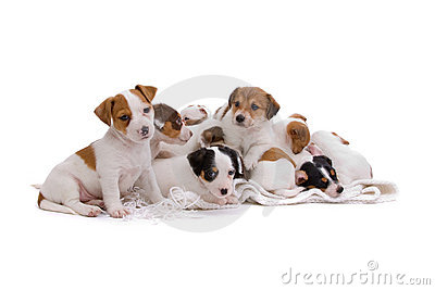 Jack Russel Terrier Puppies Royalty Free Stock Photography - Image: 13349177