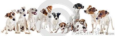 Jack russel terriers