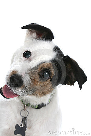 Free Jack Russell Royalty Free Stock Photography - 5357467