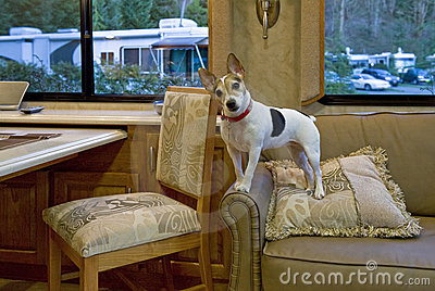 Jack Russell on Couch