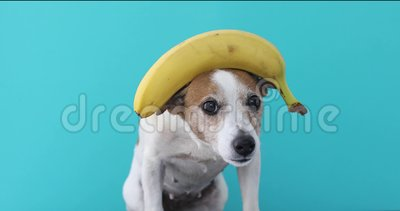 Jack russell dog balancing banana on head and a fruit falls. At the and isolated on blue background stock video