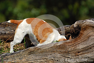 Jack Russell dog hunting mice