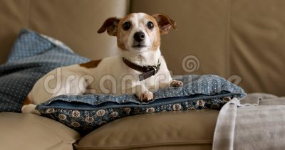 Jack russell dog lies on the couch. Old Jack Russell dog lies on beige sofa at home stock video footage