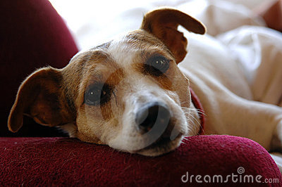 Jack Russell face