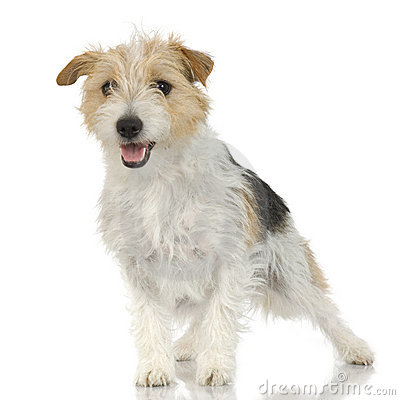 Jack Russell Long Haired Royalty Free Stock Image - Image: 2671496