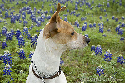 Jack Russell Mix and Bluebonnets