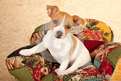 Jack Russell puppy in chair