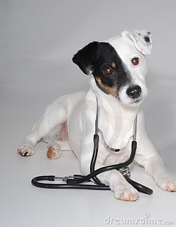 Jack Russell with Stethoscope