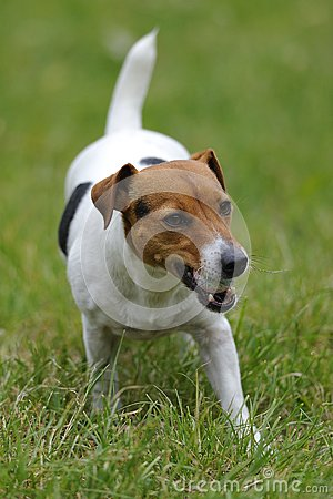 Free Jack Russell Terier Currying Ball Stock Photography - 25112102