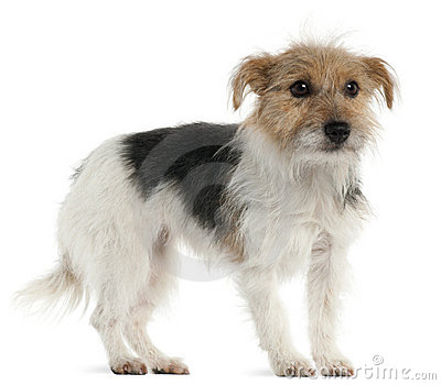 Jack Russell Terrier, 1 year old, standing