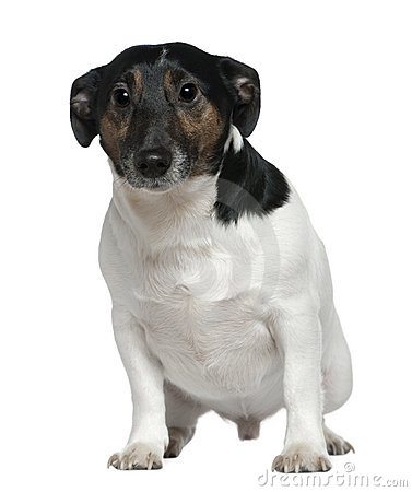 Jack Russell Terrier, 2 and a half years old