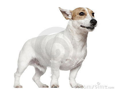 Jack Russell Terrier, 2 years old, standing