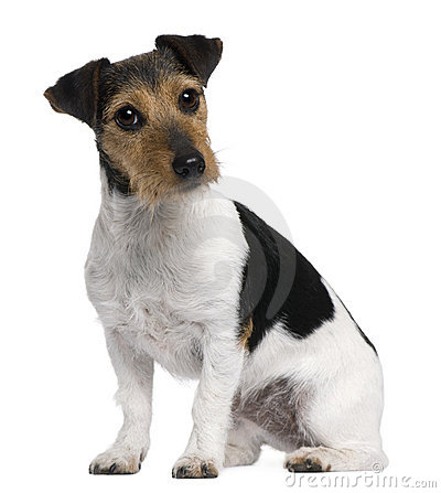 Jack Russell Terrier, 3 years old, sitting