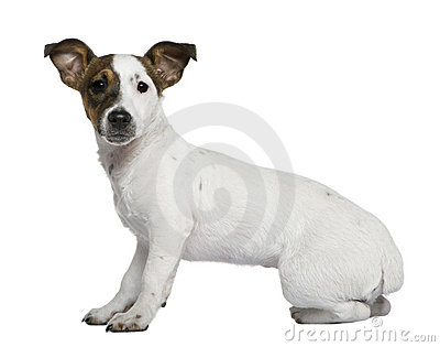 Jack Russell Terrier, 5 months old