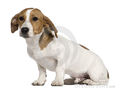 Jack Russell Terrier, 5 months old, sitting