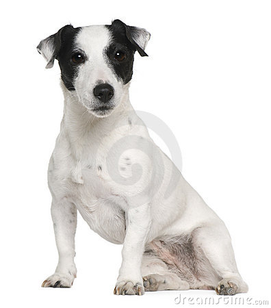 Jack Russell terrier, 7 years old, sitting