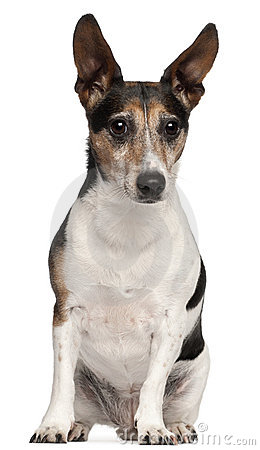 Jack Russell Terrier, 8 years old, sitting