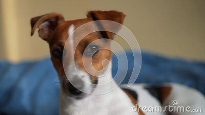 Jack Russell terrier - detail on dog`s head, blurred bed in background stock footage