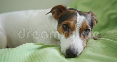 Jack Russell Terrier dog looking at the camera. Shooting from hands stock footage