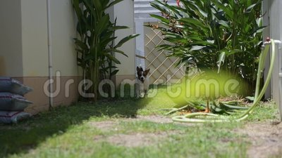 Jack Russell Terrier dog running on the grass , slow motion.  stock footage