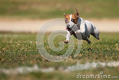 Jack Russell Terrier Dog Runs on the Grass