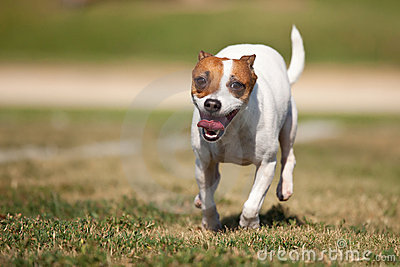 Jack Russell Terrier Dog Runs on the Grass