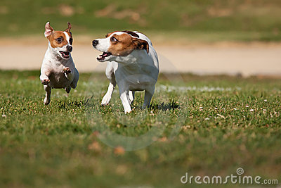 Jack Russell Terrier Dogs Running on the Grass