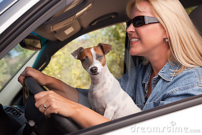 Jack Russell Terrier Enjoying a Car Ride