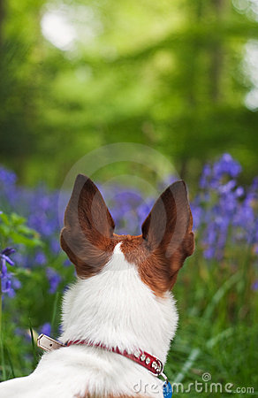 Jack Russell terrier exploring some bluebell woods