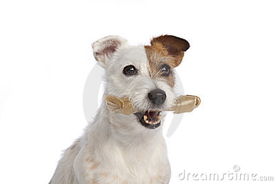 Jack russell terrier holding a bone standing