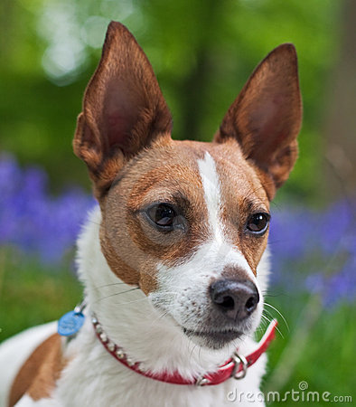 Free Jack Russell Terrier In Bluebell Woods Royalty Free Stock Image - 14399206