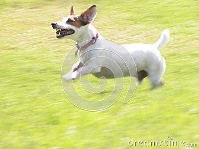 Jack Russell Terrier JRT Jacob Running 01