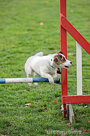 Jack Russell Terrier jumping over a hurdle