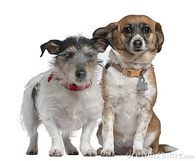 Jack Russell Terrier and Mixed-breed dog