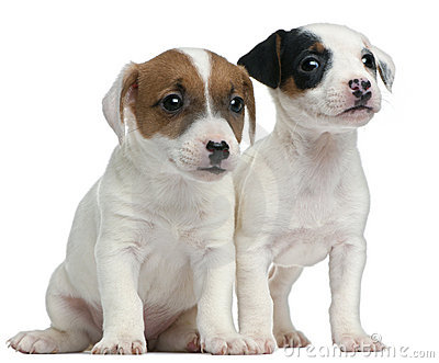 Jack Russell Terrier puppies, 7 weeks old