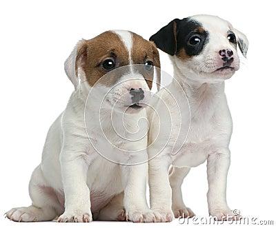 Jack Russell Terrier puppies, 7 weeks old