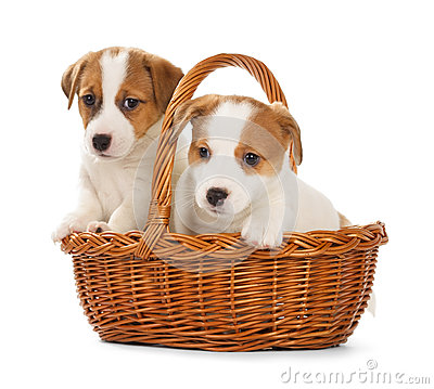 Free Jack Russell Terrier Puppies Sitting In A Basket. Royalty Free Stock Photography - 67029527