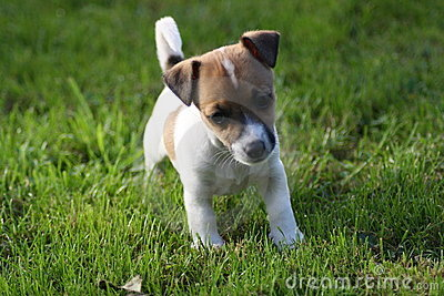 Jack Russell Puppies on Royalty Free Stock Photos  Jack Russell Terrier Puppy  Image  16202458
