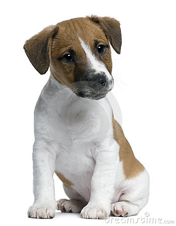Jack Russell Terrier puppy, 2 months old, sitting