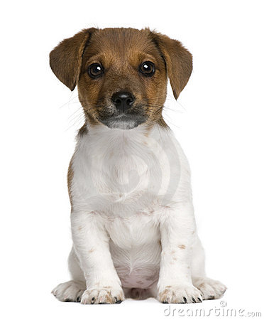 Jack Russell terrier puppy, 3 months old, sitting