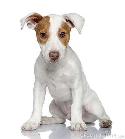 Jack Russell terrier puppy, 4 months old, sitting