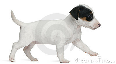 Jack Russell Terrier puppy, 7 weeks old, walking