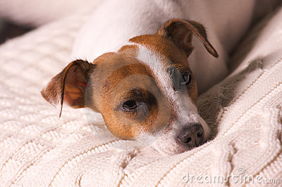 Jack Russell Terrier Puppy Napping