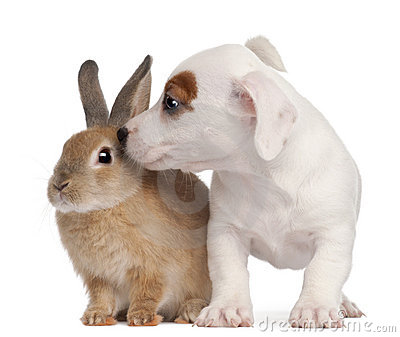 Jack Russell Terrier puppy and a rabbit