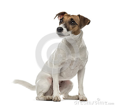 Free Jack Russell Terrier Sitting And Looking Away,2 Years Old Royalty Free Stock Photo - 89217095