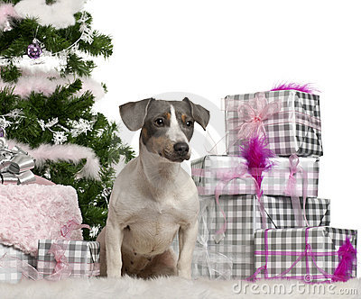 Jack Russell Terrier, sitting with Christmas