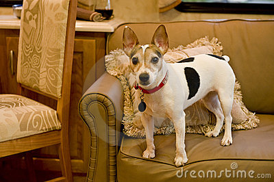 Jack Russell terrier on sofa