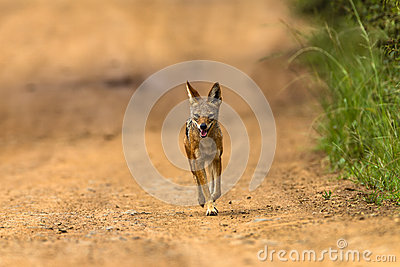 Jackal Blackbacked Hunting Wildlife